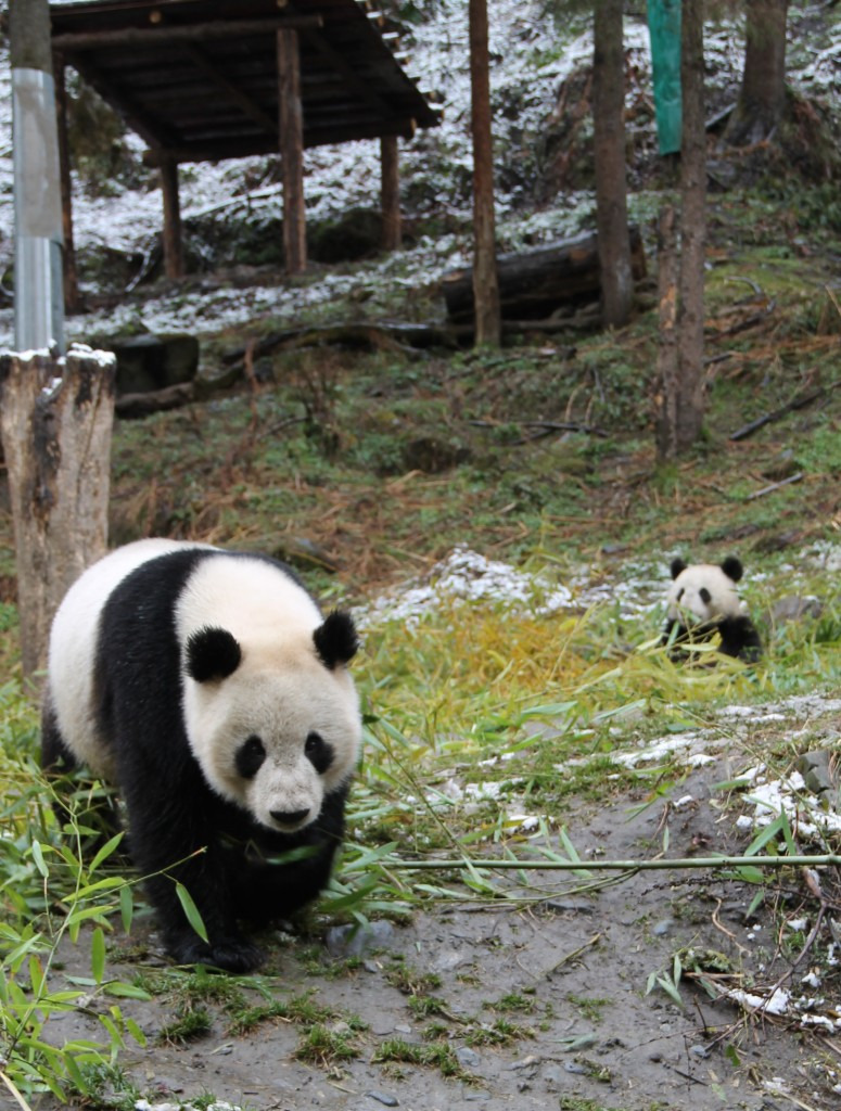 Hua Mei with her little boy, Hua Rong, at the Hetaoping wilderness training enclosures.