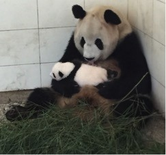 Ying Hua's cub is growing so fast!